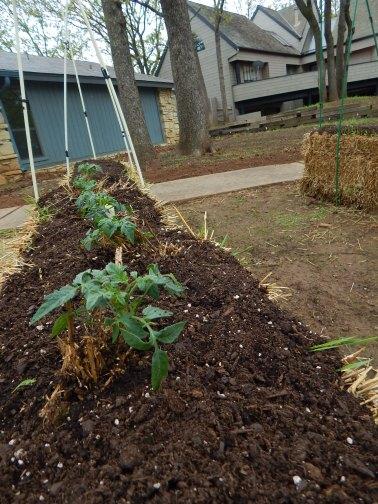 Homestead tomatoes